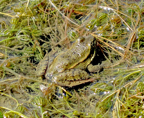 California Red-legged Frog at Morgan Territory