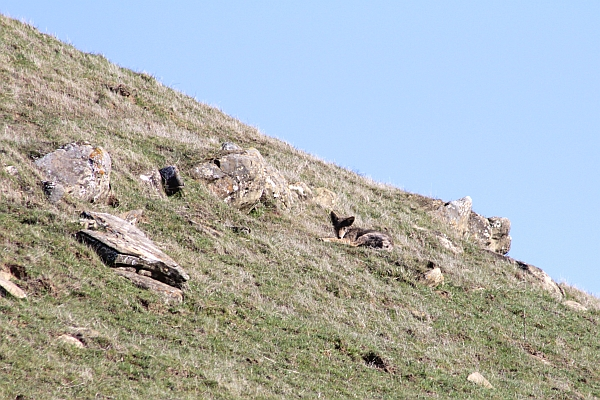 Coyote on hillside