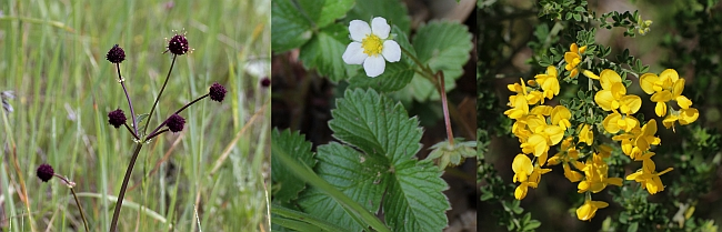 Purple Sanicle, Woodland Strawberry, French Broom